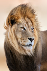 Fototapete - Big male lion portrait with wind blowing its hair. Panthera leo