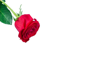 red rose on a white background.from isolate