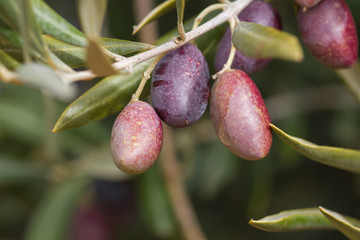 Detail of picual olives in the tree