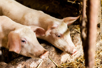 Muddy pigs in the hogpen. Food production concept in the domestic conditions. Pigglets in their boxes with hay. Village food production concept