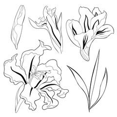 the is gladiolus flower natural.  illustration