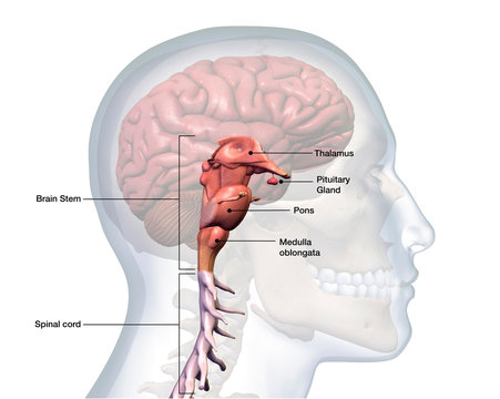 Brain Stem and Spinal Cord Labeled