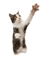 gray cat stands on its hind legs isolated