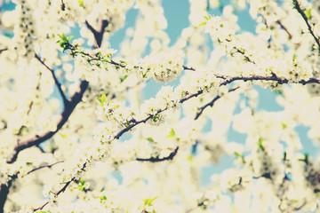 Spring flowering trees. Blooming garden. Selective focus.