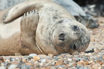 sleeping seal pup on a stony beach