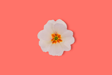 primrose on living coral color background, color of the year 2019
