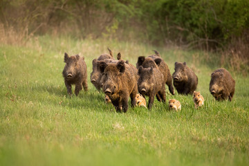Group of wild boars, sus scrofa, running in spring nature. Action wildlife scenery of a family with small piglets moving fast forward to escape from danger. Fotoväggar