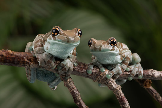 Mission Golden-eyed Tree Frogs (Trachycephalus resinifictrix)/Mission Golden-eyed Tree Frogs perched on a thin branch