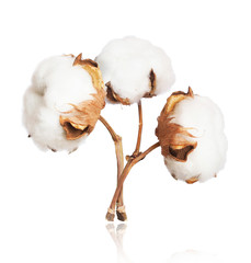 Three cotton plant flowers close-up isolated on white background