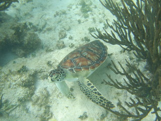 Akumal,Mexico Summer/Undrewater Sea Turtle.