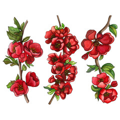 Watercolor set of Japanese quince (chaenomeles) in bloom, hand drawn floral illustration