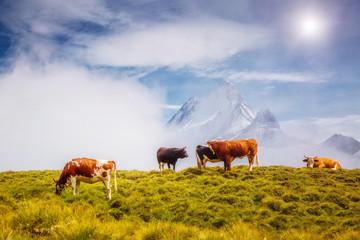 Wall Mural - Cows graze on alpine hills. Location place Grindelwald, Switzerland.