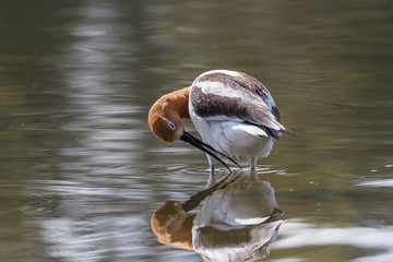 Graceful, Gentle and Beautiful. The American Avocet