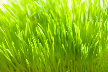 spring grass close-up background. green grass with shallow DOF