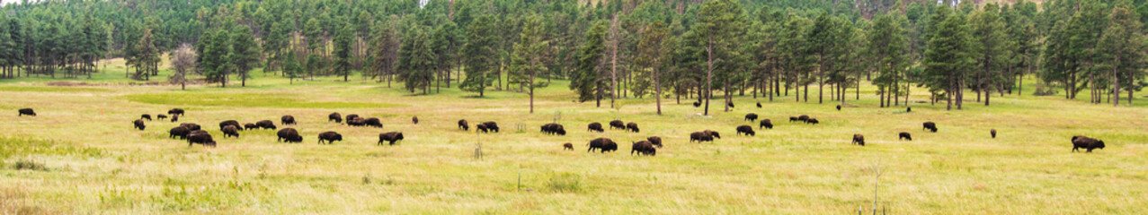 Bison-Buffalo Grazing in September Grass Background