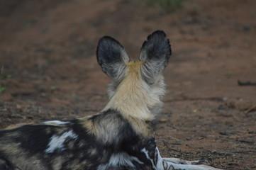 Portrait of an African wild dog in Kruger national park