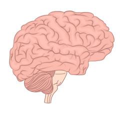 Human brain organ anatomy diagram. colorful design. side view. vector