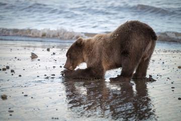 Grizzly bear cub feeding on fish on the beach in Lake Clark National Park, Alaska