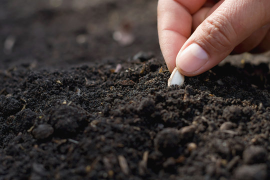 hand planting pumpkin seed in the vegetable garden and light warm. agriculture concept