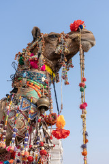 Decorated head of a camel in desert Thar during Pushkar Camel Fair, Rajasthan, India. Close up