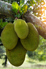 Jack fruits hanging in trees in a tropical