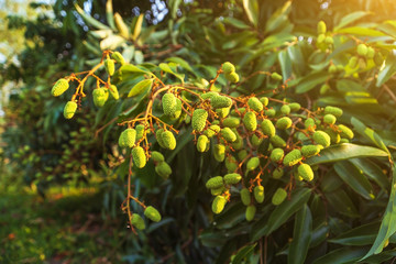 Unripe green fruit Lychee (litchi) on tree, Lychee the tropical and subtropical fruits native.