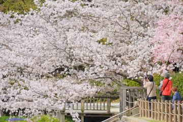 橿原神宮の桜と観光客