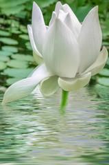 fleur blanche de lotus
