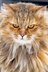 Closeup portrait of snow cat isolated on blurred background at white winter wonderland cold season red fur fun cute animal vertical crop view