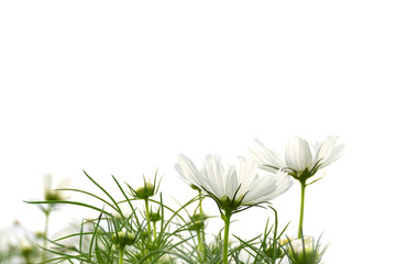 White Cosmos flowers blooming beautifully on a white background.