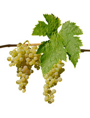 Grappes de raisin blanc