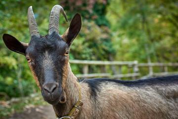 Domestic goat in the farm