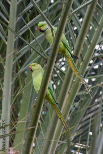 A Male and Female pair of Rose-Ringed Parakeets sits in a tree in