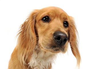 mixedbreed dog portrait in white background