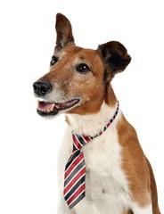 Jack Russell Terier portrait  in tie, white studio