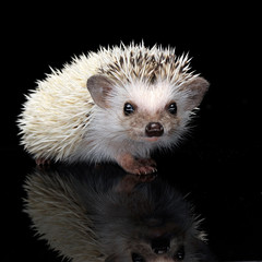 African Hedgehog in the dark photo studio
