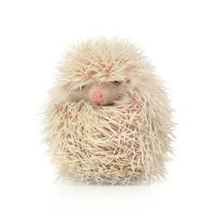 Albino Hedgehog in the white photo studio