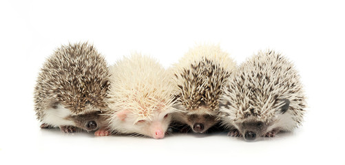 Four Hedgehoge are in the white studio