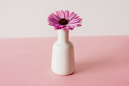 Violet daisy flowers in a pink and white background