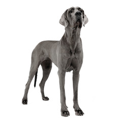 Great Dane staying in a white studio floor