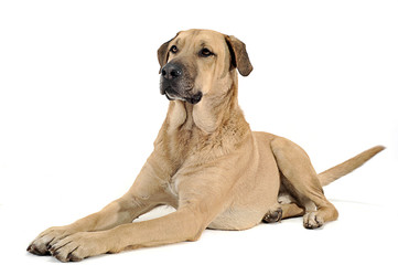 mixed breed  brown dog lying down in a white backgound studio