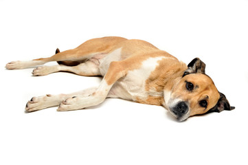 Mixed breed dog lying and looking in a white background