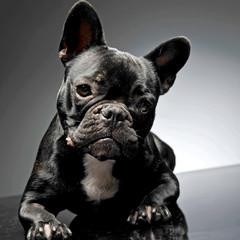 French bulldog look at you in gray studio.