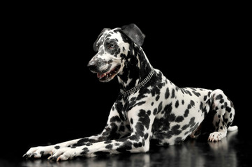 cute dalmatians lying in  black background photo studio