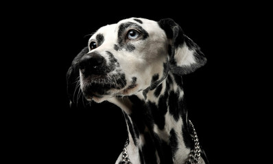 cute dalmatians portrait in black background photo studio