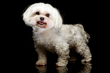 Shih-tzu in the dark photo studio