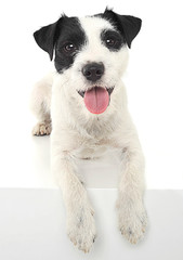 Parson Russell Terrier lying and looks at you in the white photo studio