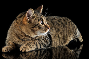 domestic cat posing in a dark studio