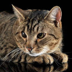 domestic cat posing in a dark studio