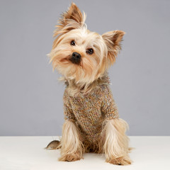 Yorkshire terrier looking at you in  photo studio